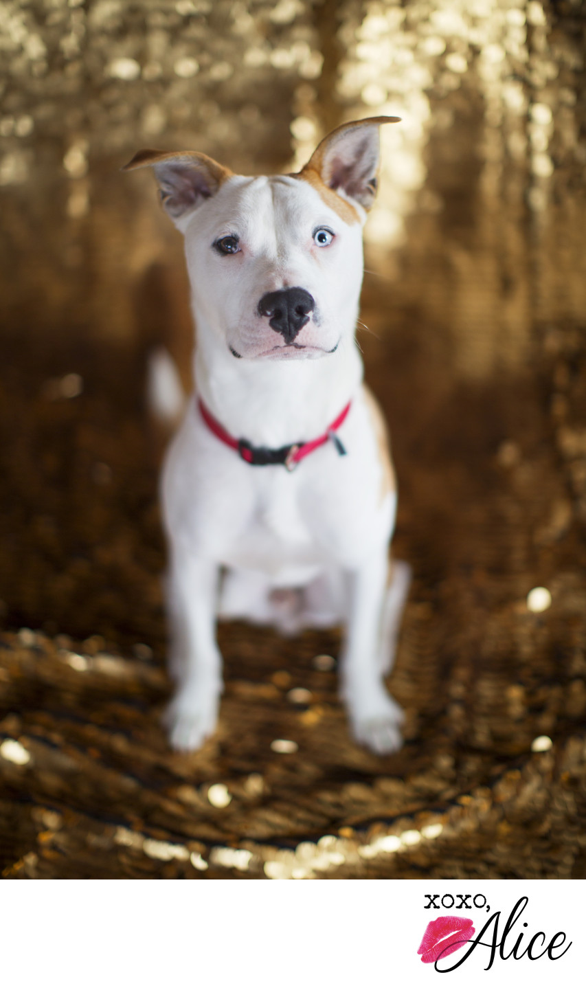 glamorous pet photography pit bull and husky