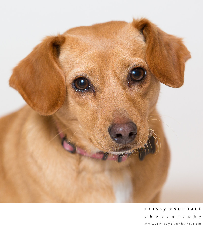 Professional Pet Portraits in Malvern- SPCA Rescue Mutt