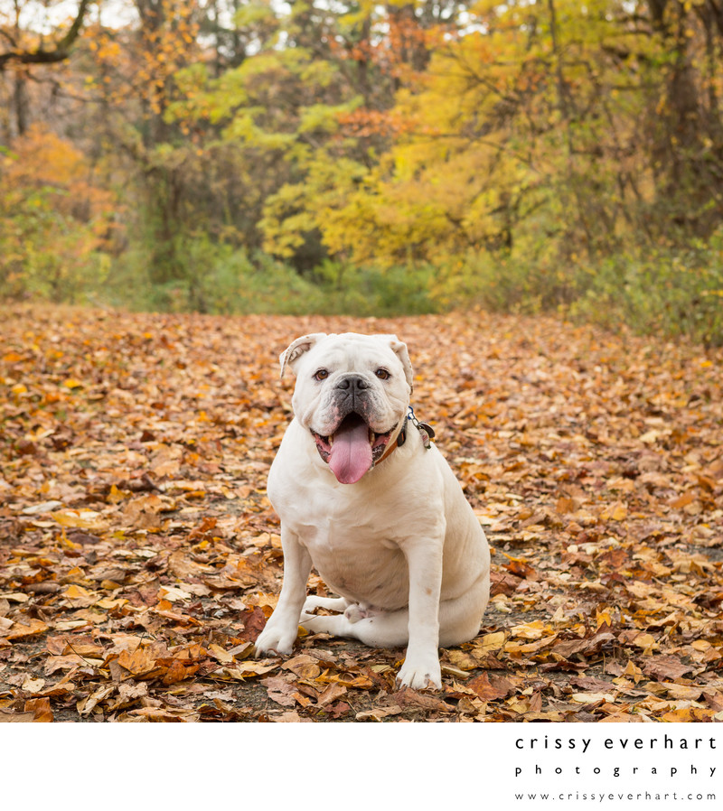 Pet Photos in Fall Foliage - Malvern Pet Photographer