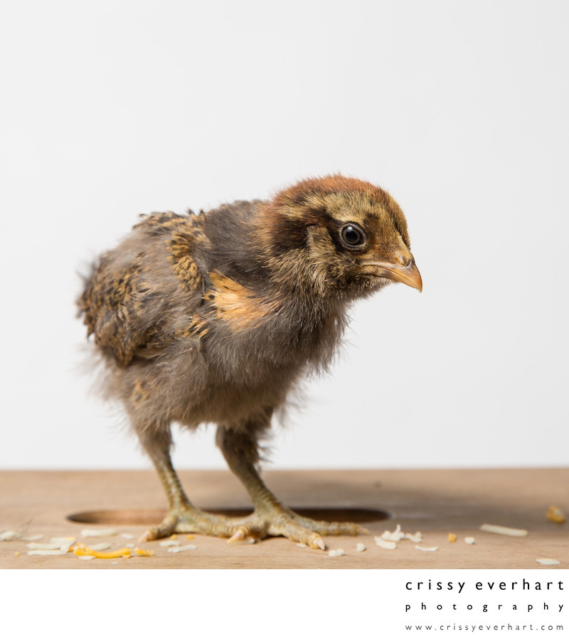 Nugget - 14 Days Week Old - Ameraucana Chicken