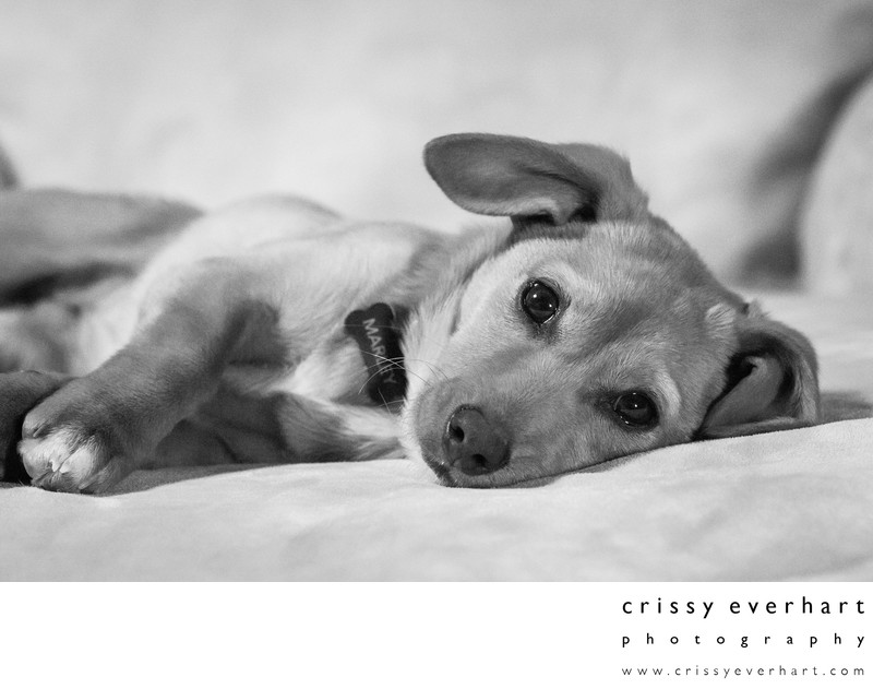 Puppy on Sofa - In Home Pet Photographer