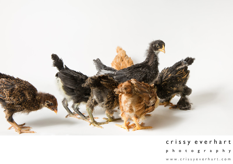 Three Week Old Pet Chickens - Odd Pet Portraits