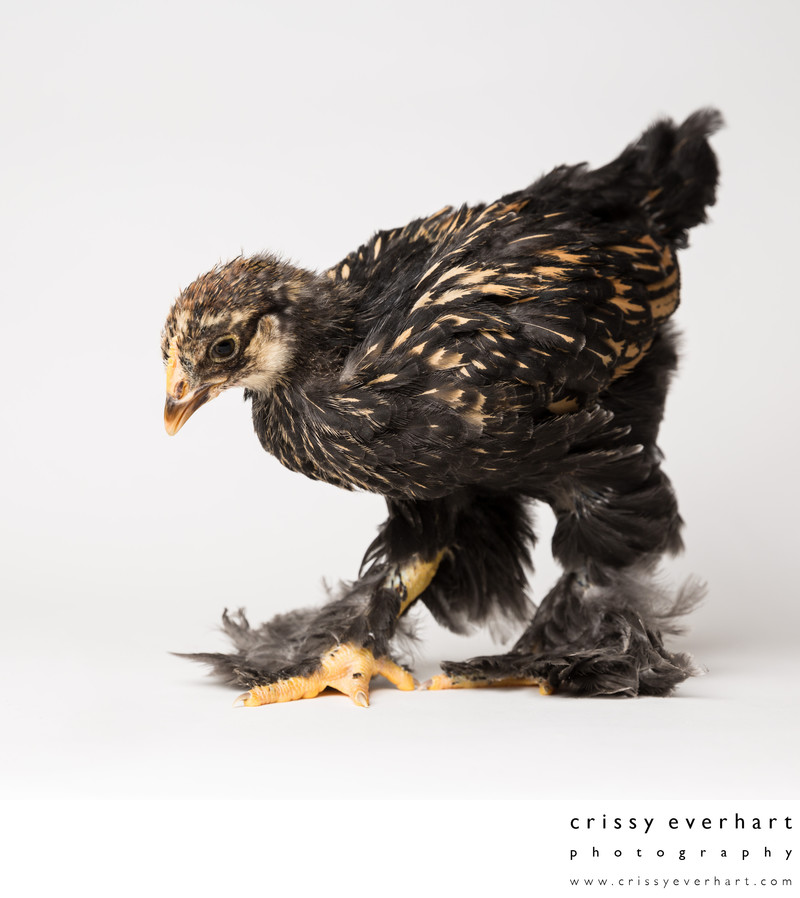Poppy - One Month Old - Golden Laced Cochin