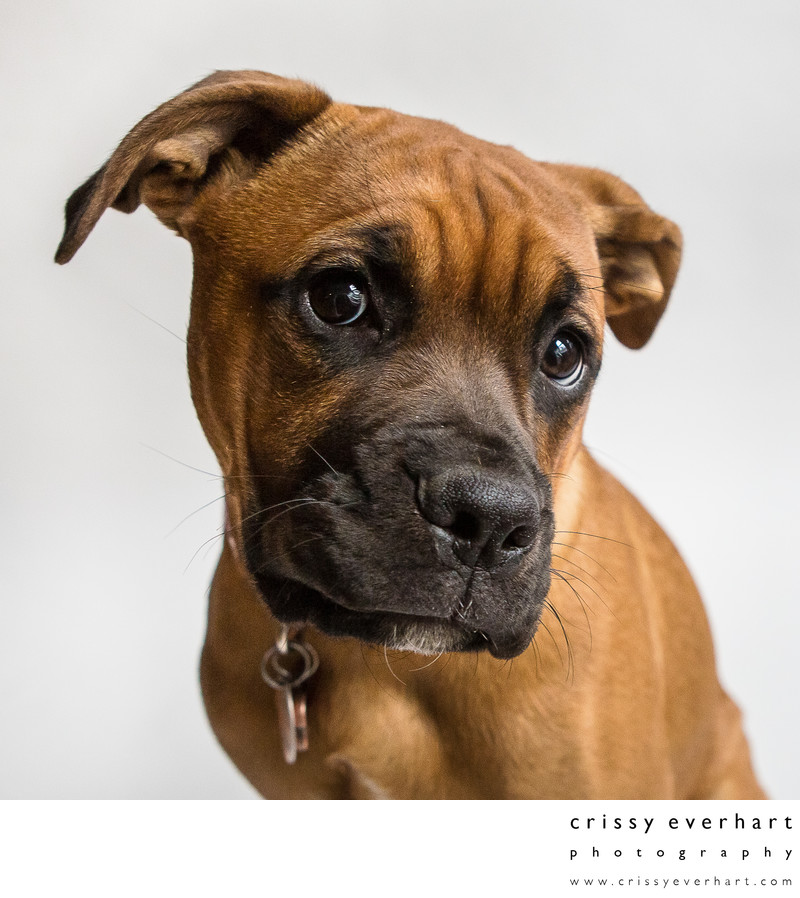 Pet portraits in Chester County, PA - boxer close-up