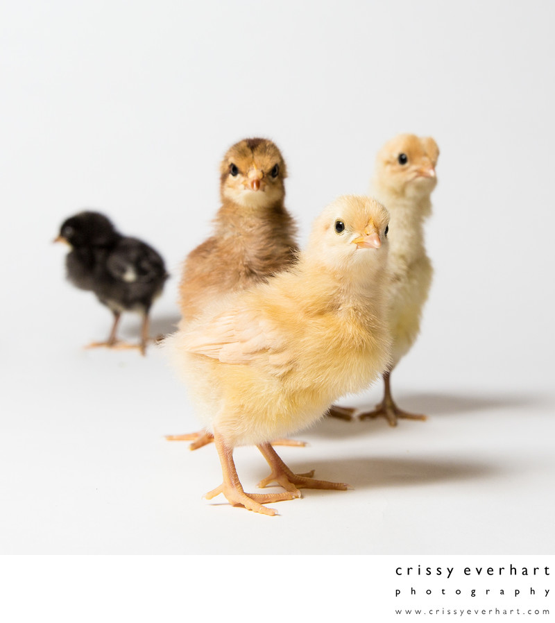 Four Baby Chickens - Pet Photos