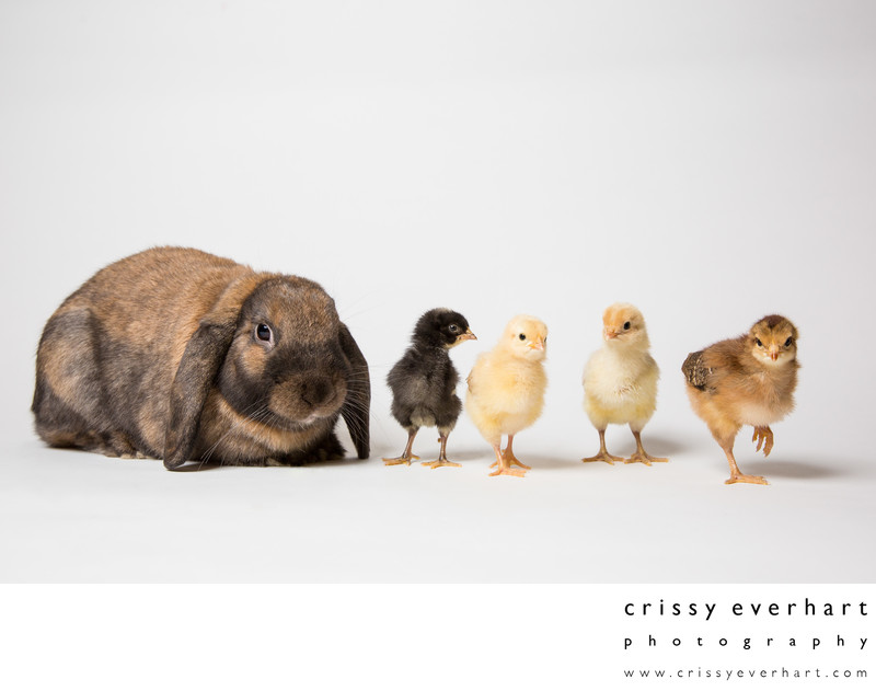 Pet Portraits in Chester County- Rabbit and Chicks