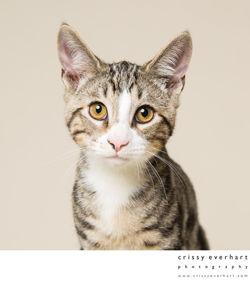 Cat Portraits in Studio - Malvern Pet Photographer