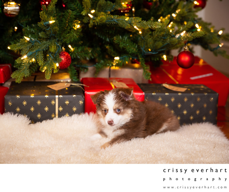 Mini Australian Shepherd Puppy Under Christmas Tree