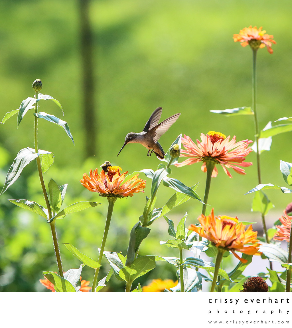Hummingbird sees bumblebee on zinnia flower