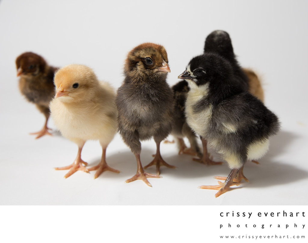 Seven two-day-old baby chickens! Pet Photography