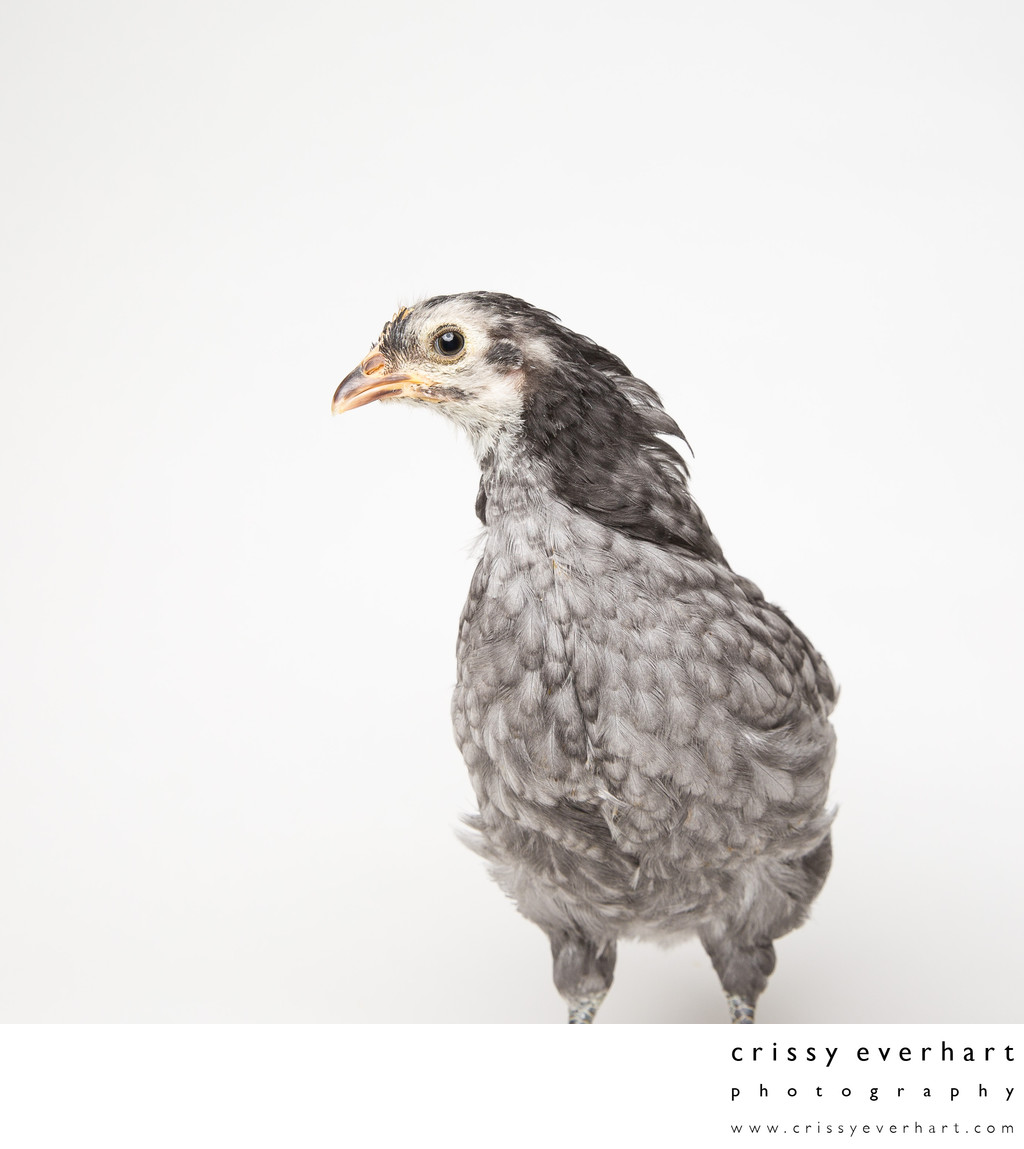 Blue - Five Weeks Old - Blue Andalusian Chick