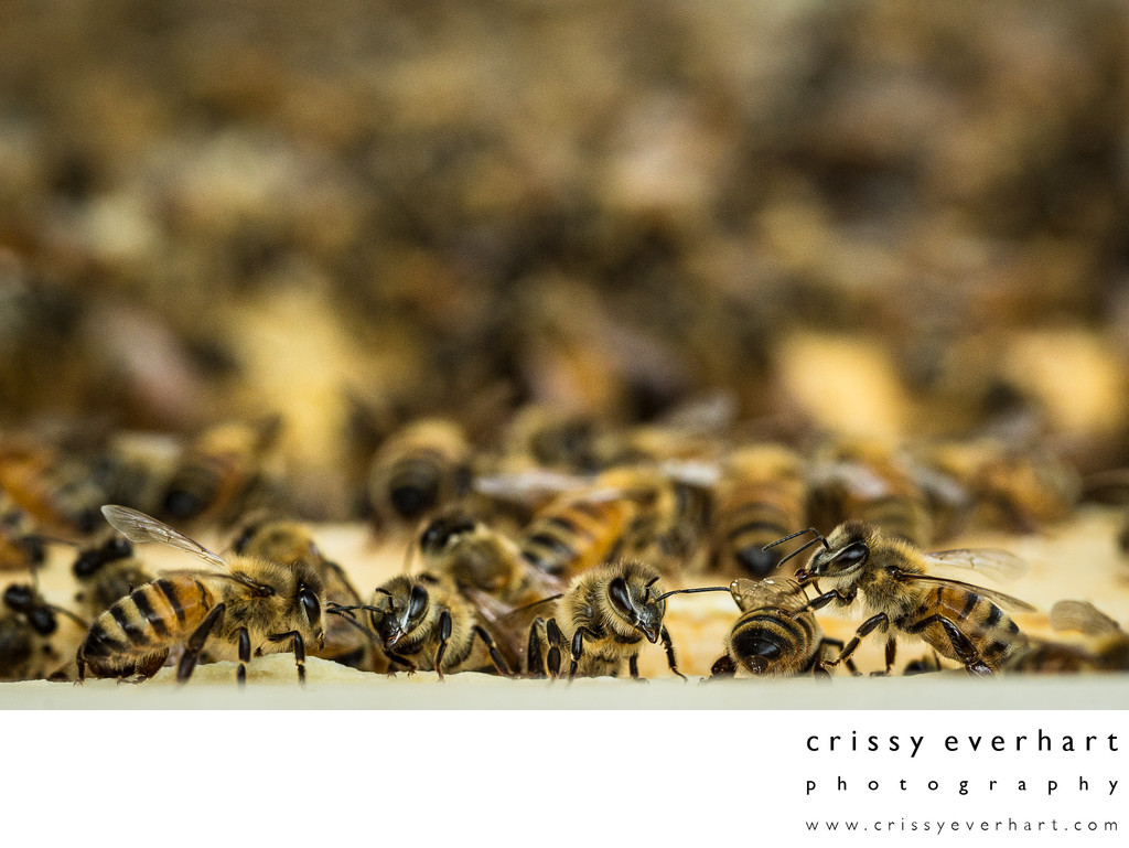 Honeybees in Beehive - Macro Bee Photography