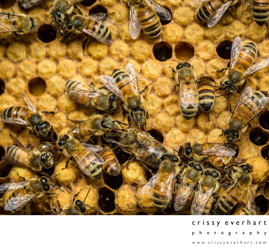 Honeybees Sipping Honey Off Other Bees' Backs