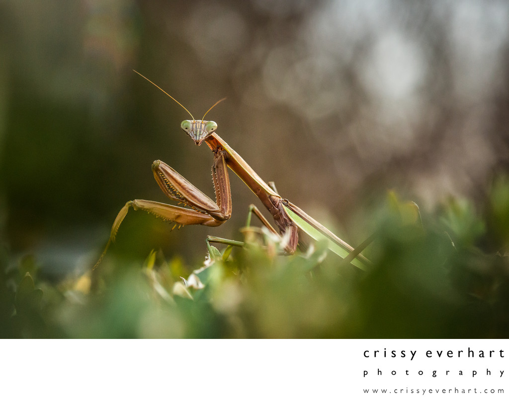 Macro Photo of Praying Mantis on Bush