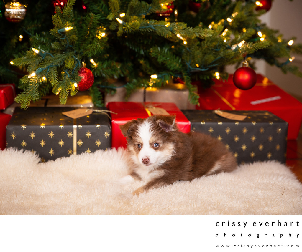 Puppy Under Christmas Tree - Mini Australian Shepherd