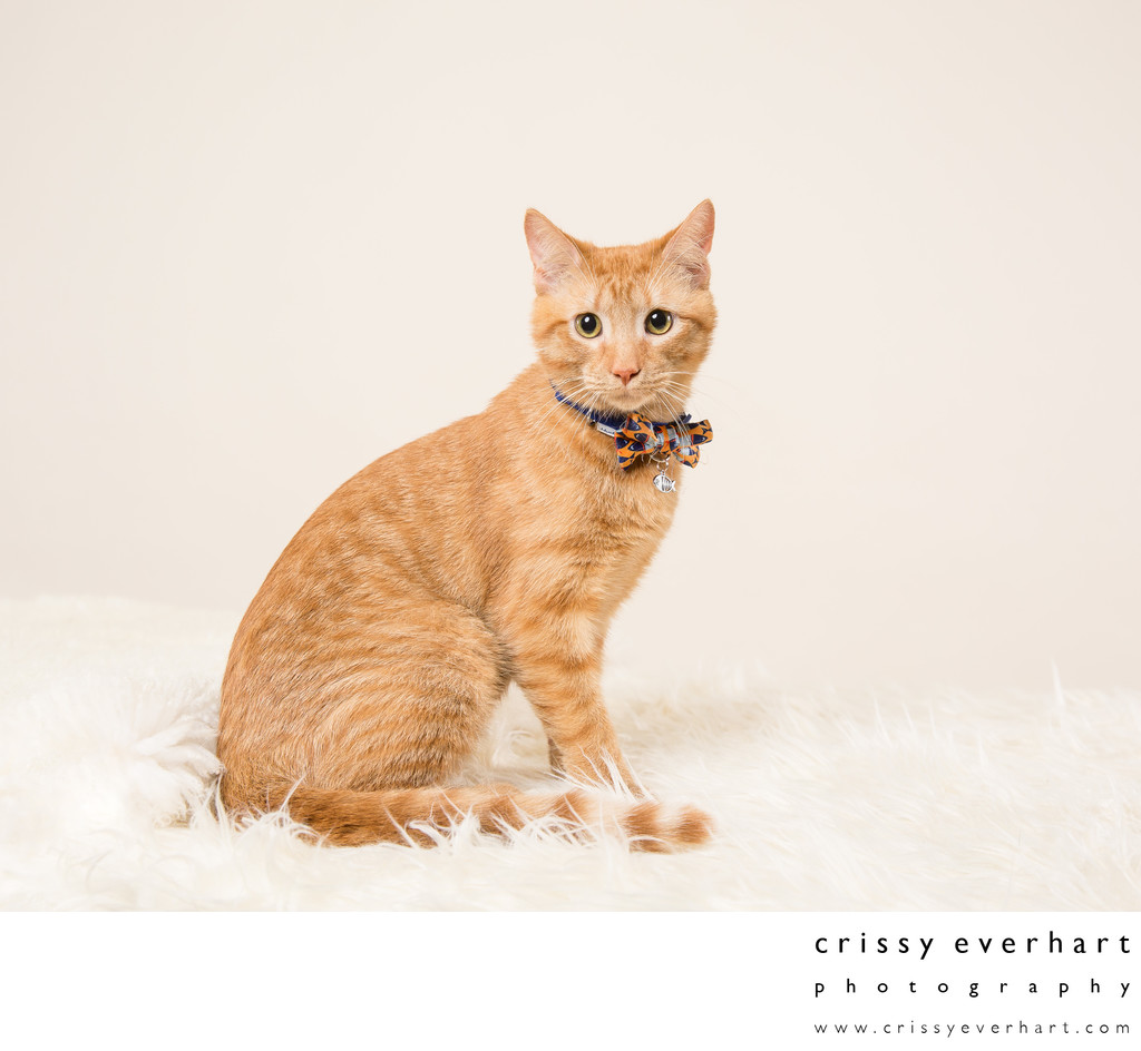 Kitten Portraits in Malvern Photography Studio