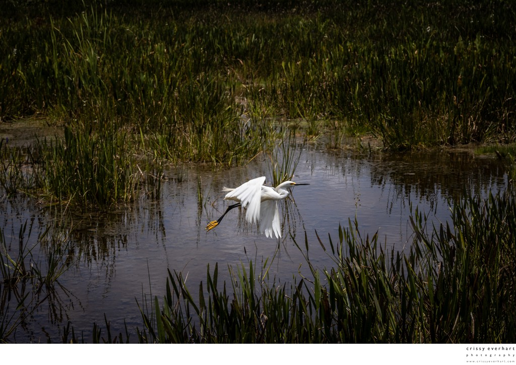 Snowy Egret Flies Over Wetlands