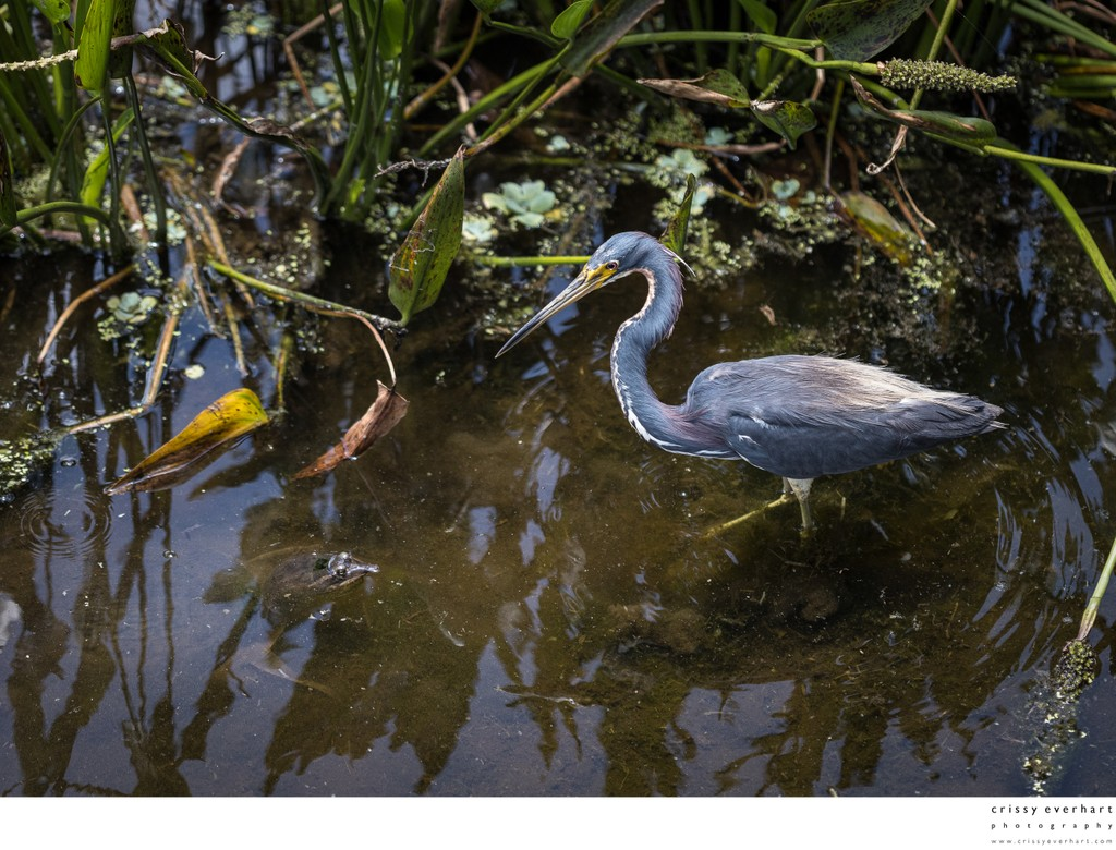 Tricolor Heron Meets Snapping Turtle