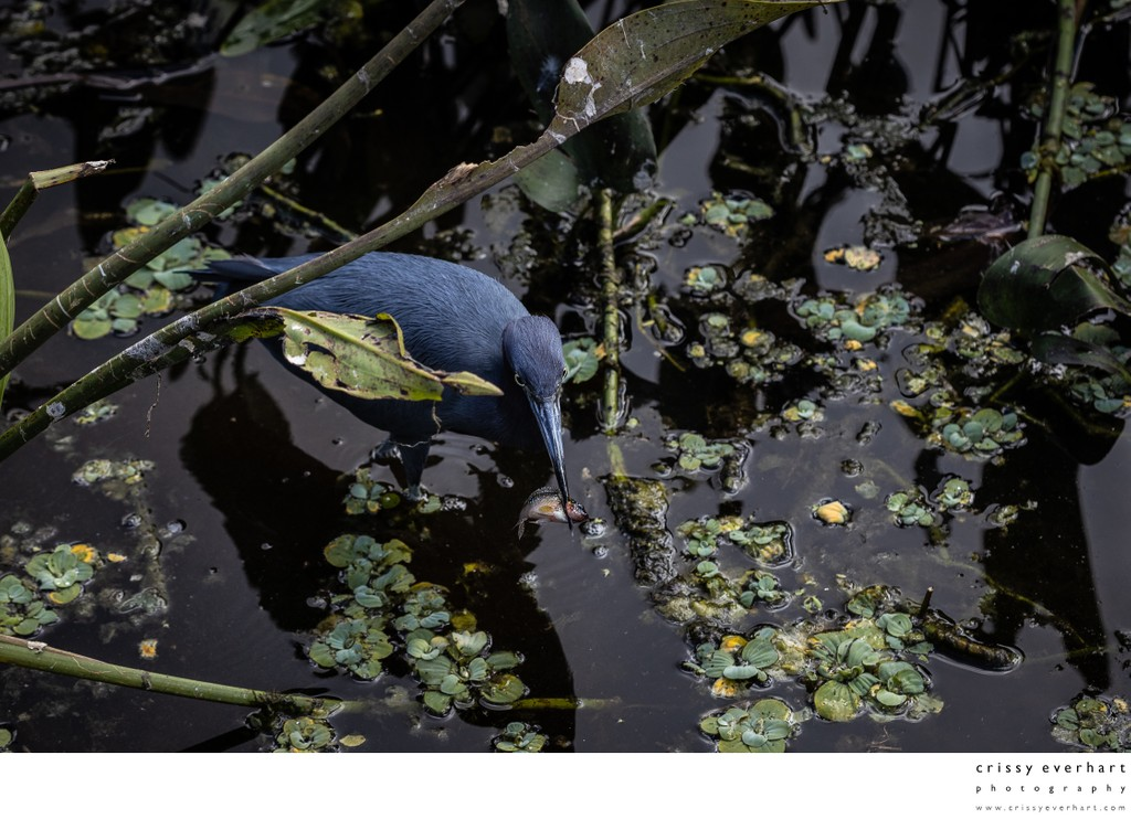 Little Blue Heron Spearing a Fish
