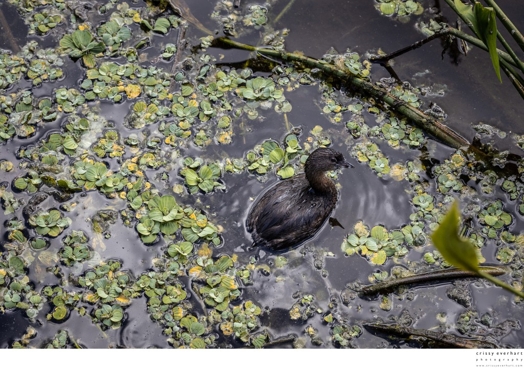 Duckling Amongst Weeds - Green Cay Preserve