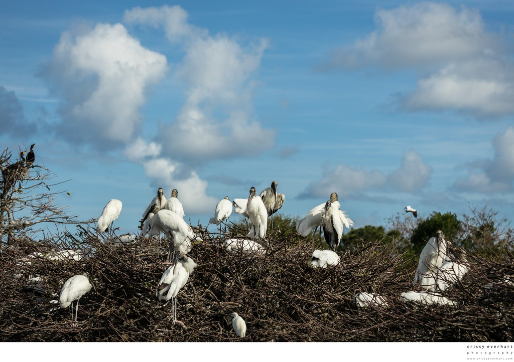 Wood Stork Nesting Grounds Under Blue Skies