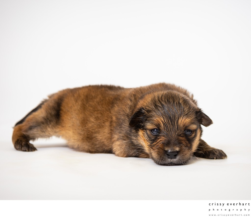 Newborn Puppy Photos
