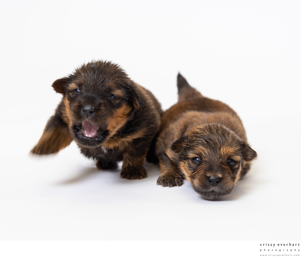 Portrait of Newborn Puppies