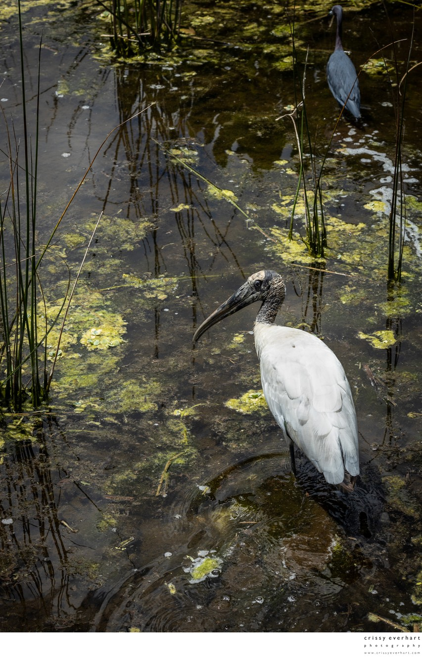 Wood Stork Wading in Green Cay Preserve
