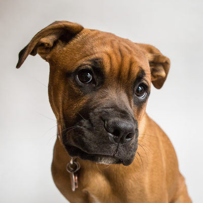 Pet Portraits in Chester County- Boxer Pit Bull Dog