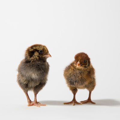 Ameraucana and Barnevelder Chicks, Nugget and Teriyaki