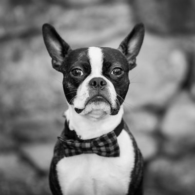 Black and White Pet Portraits - Boston Terrier Photo