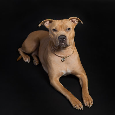 Malvern Pet Photographer- Pit Bull on Black Background