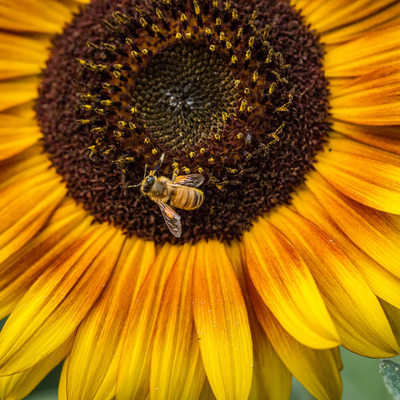 Honeybee on Sunflower: Macro Photography