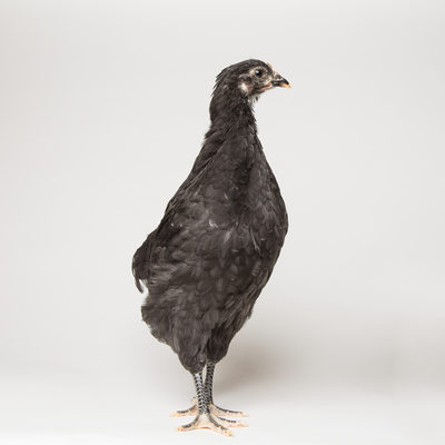 Noodle - Six Weeks Old - Black Australorp Chicken