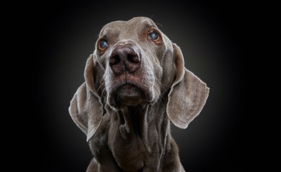 Older Dog Studio Portrait