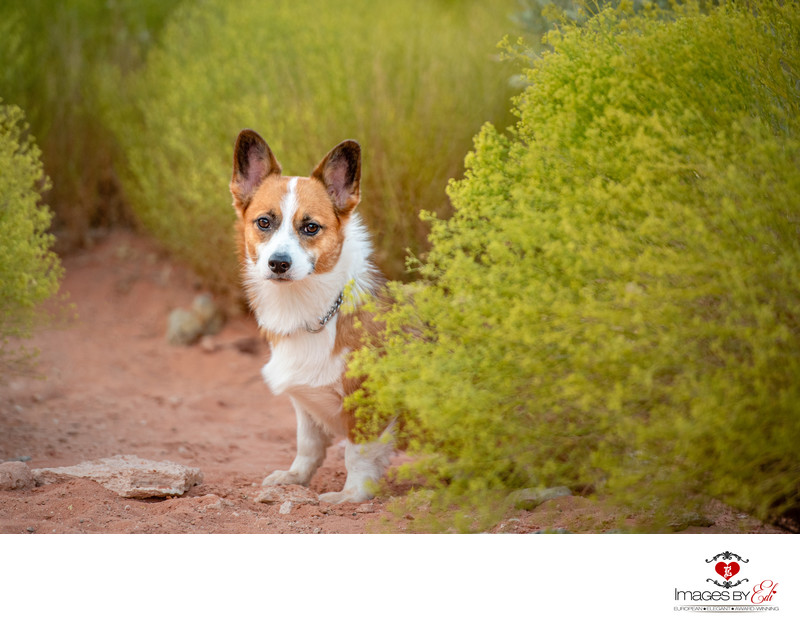 Corgi is peaking out from yellow bushes -Las Vegas dog photography