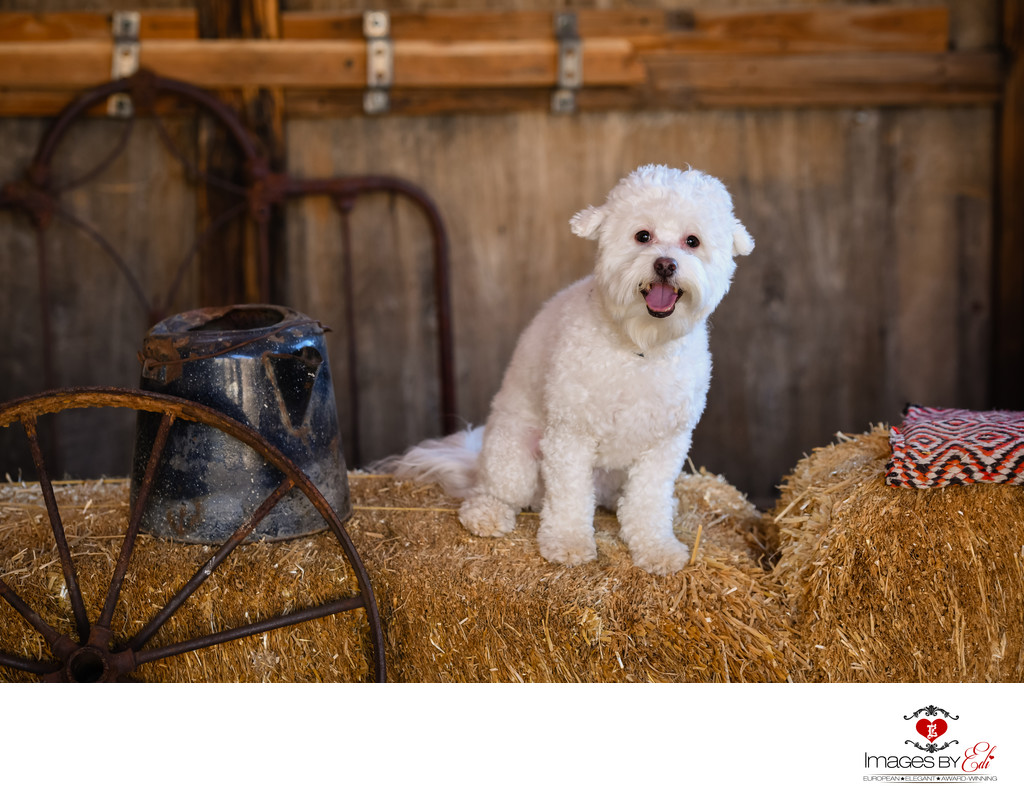 Las Vegas Pet Photographer | Pet Photography | Dog Photo at Nelson Ghost Town | Images By EDI | Bichon Frise