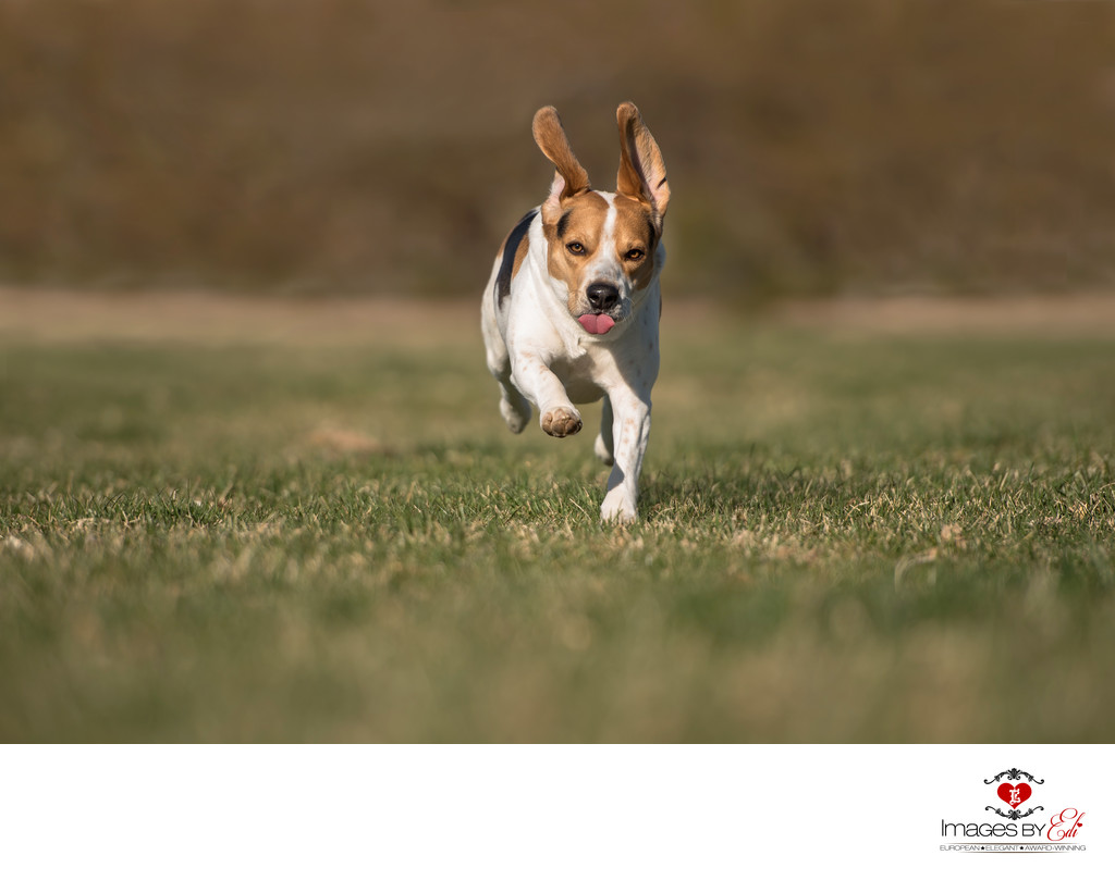 Photo of Beagle Boy | Las Vegas Pet Photographer | Vegas Pet Photography session | Images By EDI