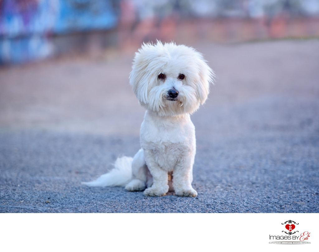 Las Vegas Pet Photographer | Pet Photography close to graffiti walls| Images By EDI | Photo of Coton de Tulear boy
