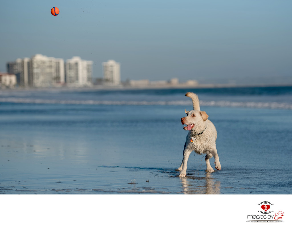 Las Vegas Pet Photographer | Photo of lab mix at San Diego playing in the ocean | San Diego Pet Photography | Images By EDI