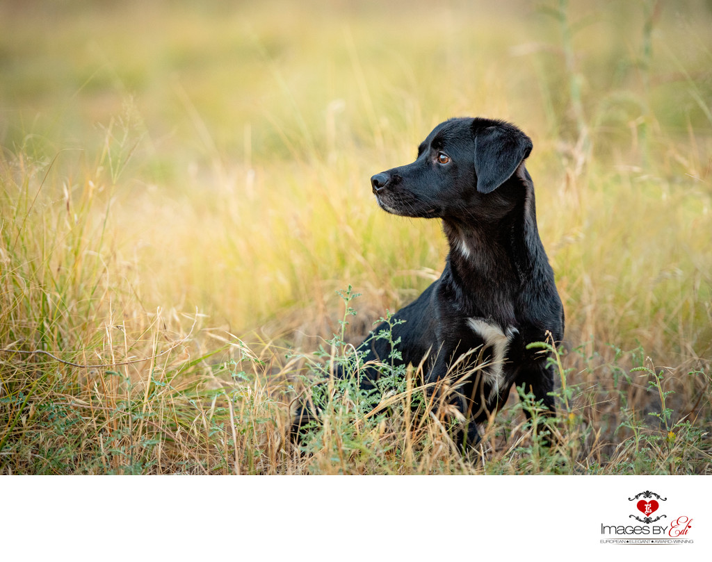 Las Vegas Pet Photographer | Pet photo of Black Corgi lab mix sitting in tall grass | Vegas Pet Photography | Images By EDI
