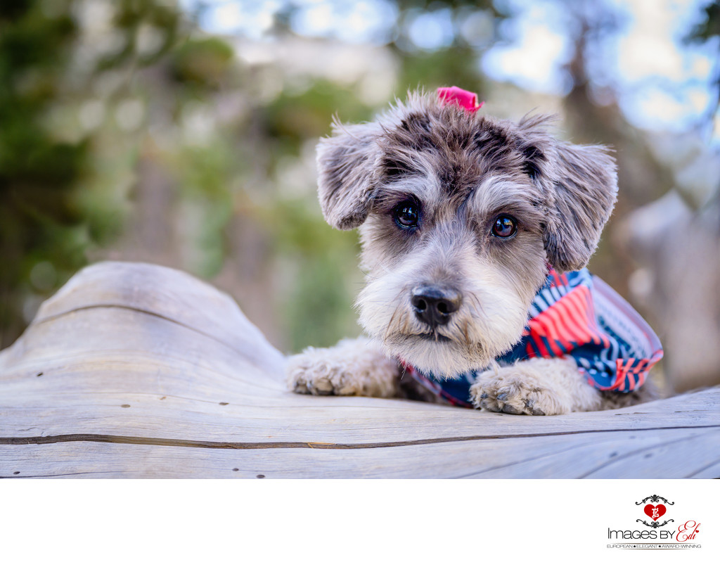 Las Vegas Pet Photographer | Mt Charleston Las Vegas Pet Photography | Schnauzer Girl dog Photo | Images By EDI