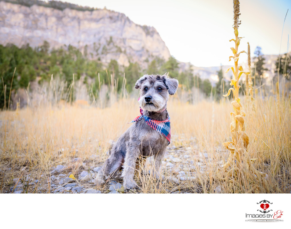 Las Vegas Vegas Pet Photographer | Pet Photo of Schnauzer at Mt Charleston | Images By EDI