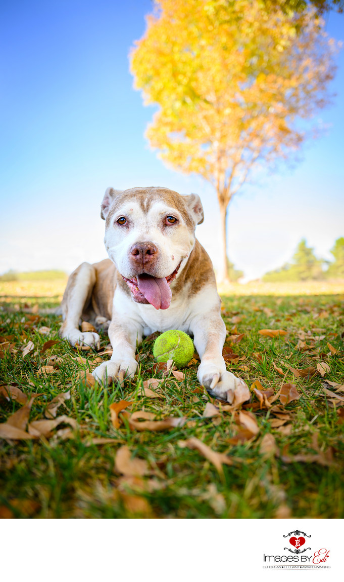 Senior pet photography in Las Vegas park with yellow leaves