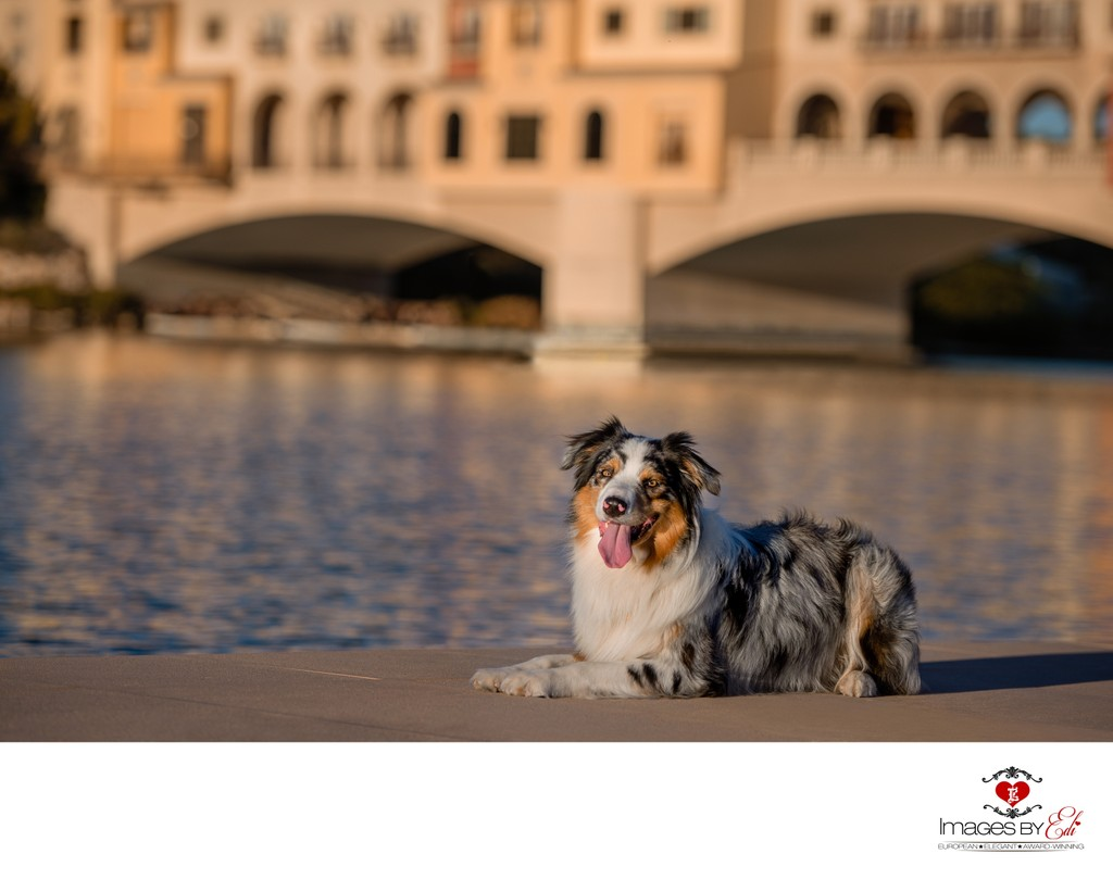 Las Vegas Pet Photographer | Lake Las Vegas Pet Photography | Images By EDI | Australian Shepherd