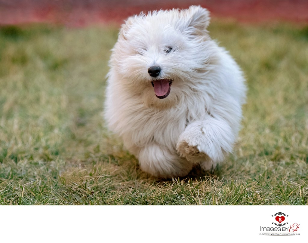 Las Vegas Pet Photographer | Dog Photography at home garden| Images By EDI | Watch Me Grow Photo Session | Photo of Coton de Tulear puppy running