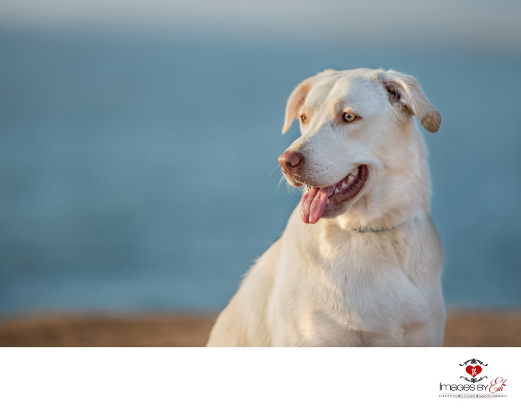 Las Vegas Pet Photographer | Photo of a white lab mix with yellow eyes  |Vegas Pet Photography | Images By EDI