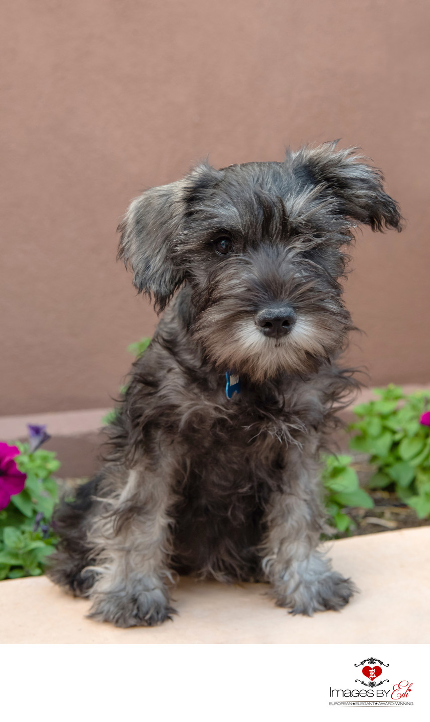 Pet Photo of Schnauzer Boy | Las Vegas Pet Photographer | Watch Me Grow Photo Session | Vegas Pet Photography session | Images By EDI