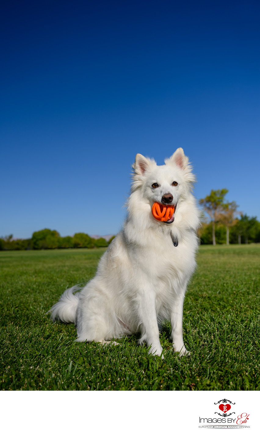 Las Vegas Pet Photographer | Pet photo of American Eskimo with his Toy| Las Vegas Pet Photography | Images By EDI