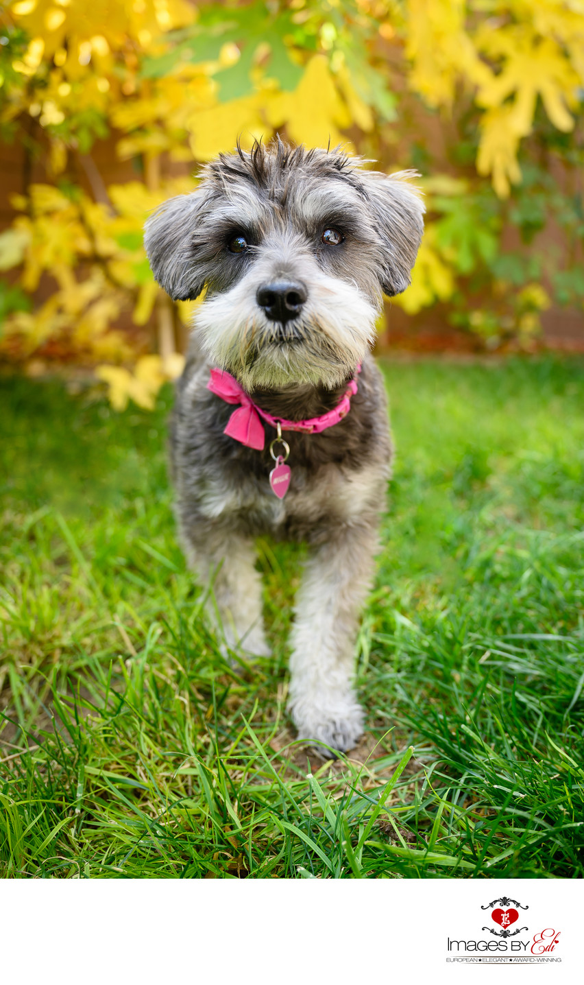 Las Vegas Fall Pet Photo With Yellow Leaves | Best Las Vegas Pet Photographer | Schnauzer| Images By EDI